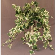 X 269 Varigated Ivy