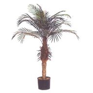 PHOENIX PALM TREE W/BLACK PLASTIC RD POT /POLYBAG (6' / 7' / 8')