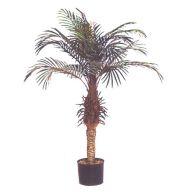 PHOENIX PALM TREE W/BLACK PLASTIC RD POT /POLYBAG (4' / 5')