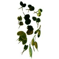 """6 """" Dried Assorted Pod Picks - Green ( Packed 50 )"""